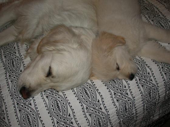 golden retriever puppy cut. golden retriever puppy